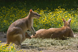 Female wallaby with joey in pouch-horizontal poster