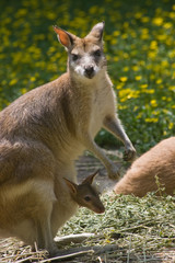 Female wallaby with joey in pouch-vertical