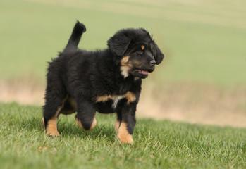 jeune dogue du tibet trottinant  dans l'herbe -allure fière