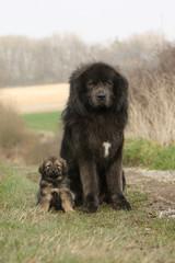 chien et chiot dogue du tibet assis au bord d'un chemin