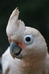 Head of Goffin Cockatoo