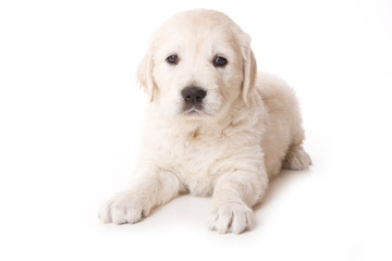 Golden retriever puppy on white background
