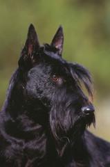 portrait d'un scottish terrier noir de trois quart dehors