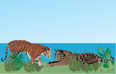 two tigers in grass
