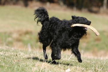 chien mudi noir rapportant un morceau de bois dans sa gueule