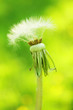 Dandelion on green background.