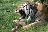 growling siberian tiger, protecting his prey poster