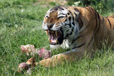 angry siberian tiger, protecting his prey poster