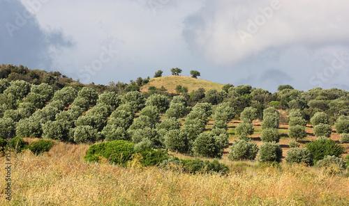 Tuinposter Olijfboom uliveto