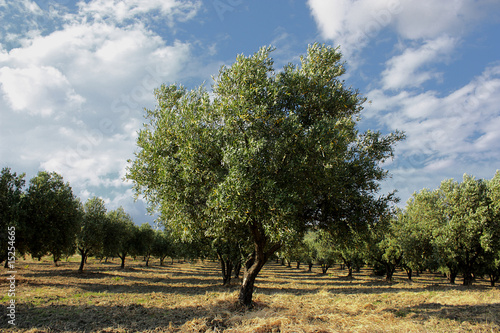 Keuken foto achterwand Olijfboom ulivo