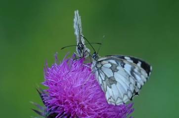 Farfalla Melanargia Galathea