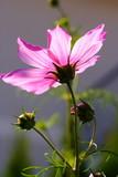Kosmeenblüte im Gegenlicht