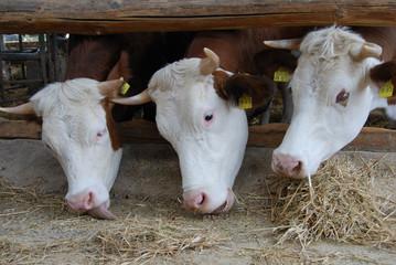 Kuh oder Rindvieh