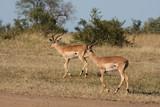 Impala in Sabi Sand, South Africa