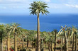 forêt de pachypodiums, palmiers de Madagascar