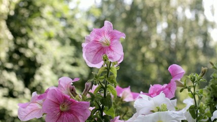 Petunia flower with blurred background in sunny day