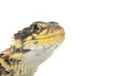 Giant Girdled Lizard poster