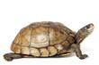 canvas print picture - Coahuilan Box Turtle