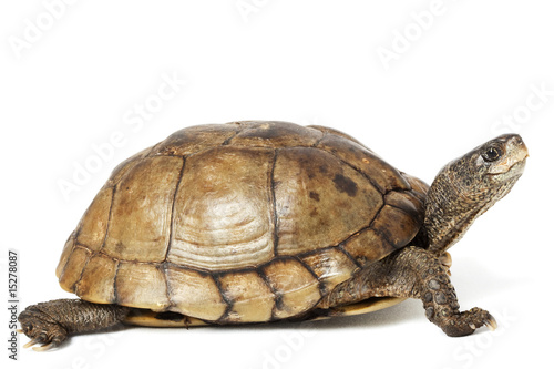 Foto op Canvas Schildpad Coahuilan Box Turtle