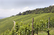 Weinberg im Sommer 1 - vineyard in summer 1