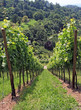 Weinber im Sommer 3 - vineyard in summer 3