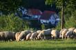Schafherde im Taunus bei Engenhahn, Hessen