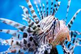 Close-up shot of venomous vivid fish poster