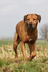 chien rhodesian ridgeback marchant de face dans l'herbe