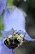 Cetonia con polline