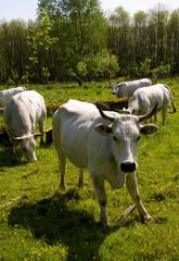 Dutch white cow