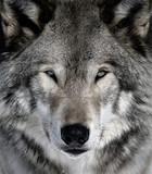 Fototapeta drapieżnik - zwierzę - Ogólny widok