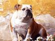 bulldog assis de face tête tournée devant un mur décrépi