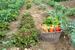 Cueillette de légumes frais au jardin.