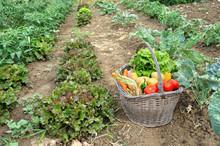 Grzebiąc warzywa w ogrodzie.