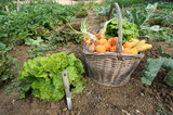 Fototapety Cueillette de légumes au potager.