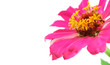 A gerbera flower isolated