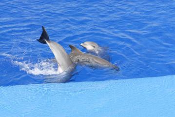 coda delfino