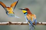 Bee-eater (Merops apiaster), Israel poster