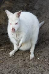 white albino kangeroo