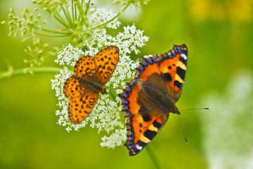 two beautiful butterflies