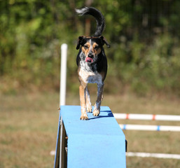 Agility Dog on ramp