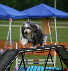 Agility Dog on ramp
