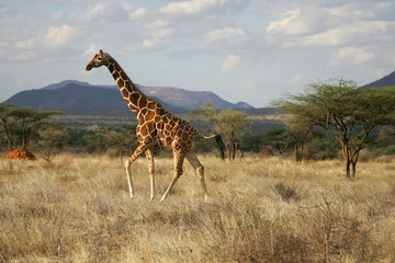 Reticulated Giraffe in Samburu National Refuge