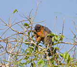 Red Colobus monkey asleep in tree poster