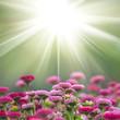 roleta: daisy