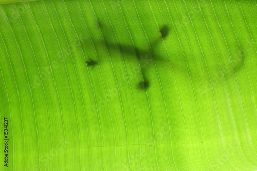 Staande foto Kameleon lézard sur feuille de ravenale ou