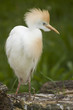 Cattle egret standing on a tree trunk