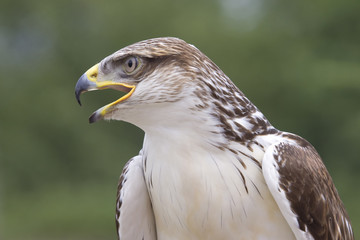 Close-up photo of a buzzard