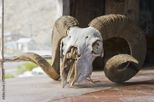 Big Horn Sheep Skull