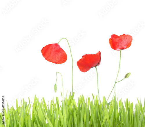 poppy with grass isolated on white